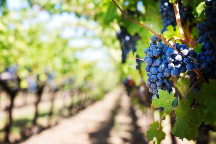 How – To Prune Vineyard