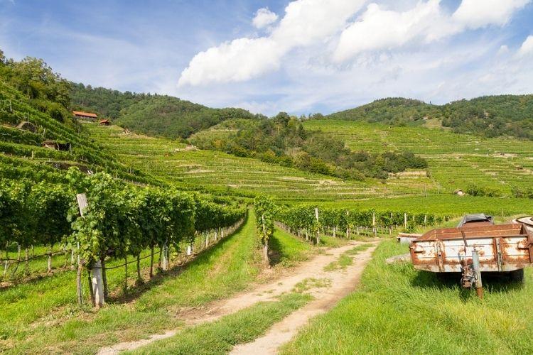 Fertilize of Vineyard in Spring